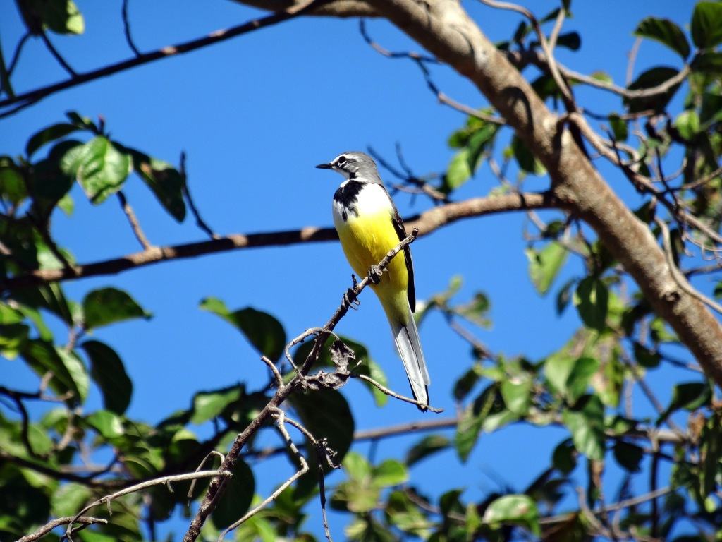 Madagascan wagtail, June 2015, dry forest, north-west Madagascar