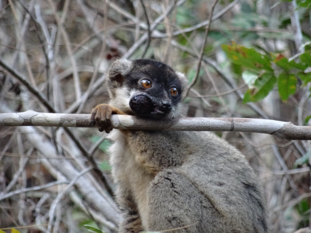 Common brown lemur (eating a plum!), July 2015, dry forest, north-west Madagascar